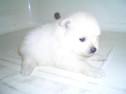 ポメラニアンの子犬No.200908072-1