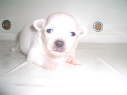 200909081ポメラニアンの子犬No.200909081-1