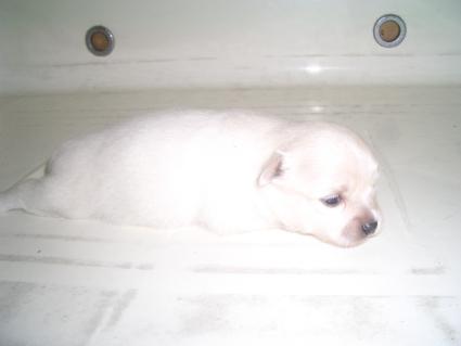 ポメラニアンの子犬No.200908071-1