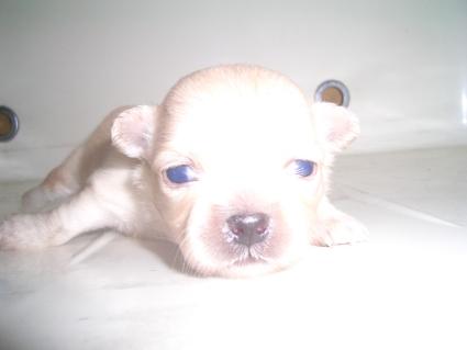 200909082ポメラニアンの子犬No.200909082-1