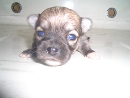 200909083ポメラニアンの子犬No.200909083-1
