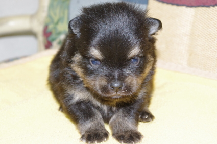 200911151ポメラニアンの子犬No.20011151-1