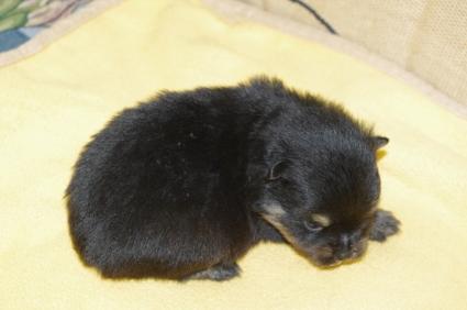 ポメラニアンの子犬No.200911151-2