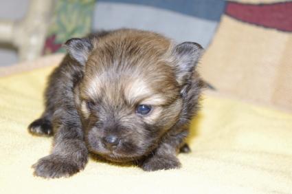 200911151ポメラニアンの子犬No.20011152-1