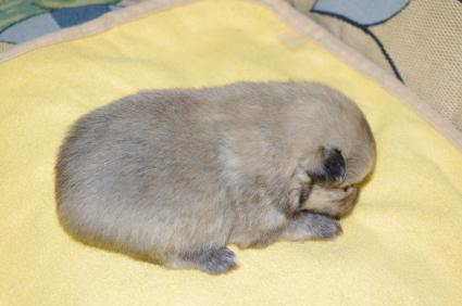 ポメラニアンの子犬No.200911153-2