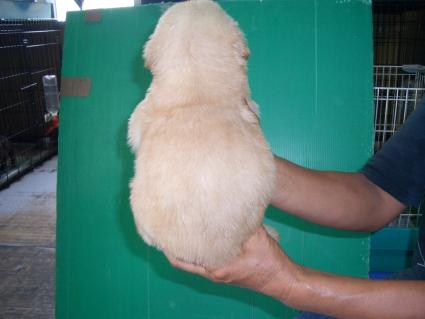 ゴールデンレトリバーの子犬5-2