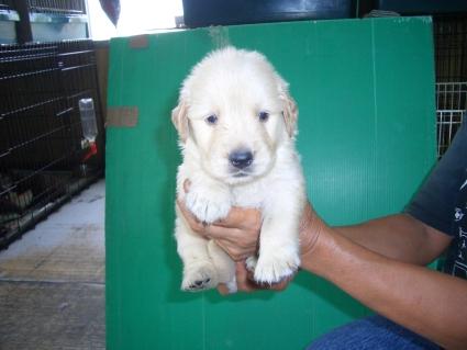 ゴールデンレトリバーの子犬6