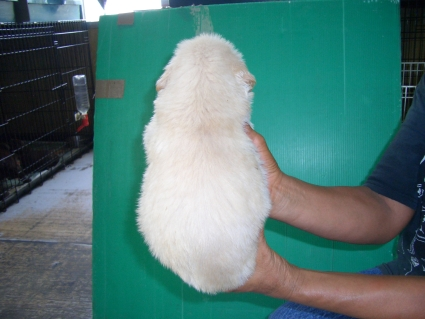 ゴールデンレトリバーの子犬6-2