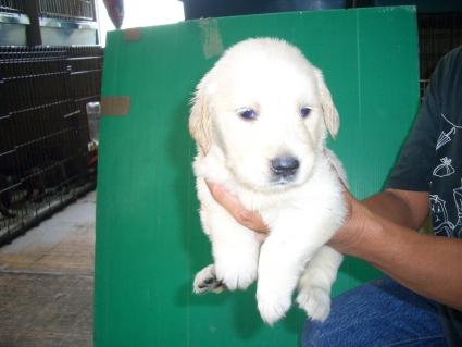 ゴールデンレトリバーの子犬7