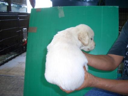 ゴールデンレトリバーの子犬7-2