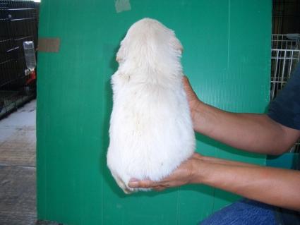 ゴールデンレトリバーの子犬1-2