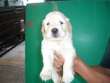 ゴールデンレトリバーの子犬2