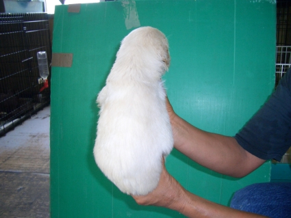 ゴールデンレトリバーの子犬2-2