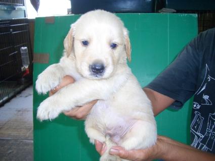 ゴールデンレトリバーの子犬3