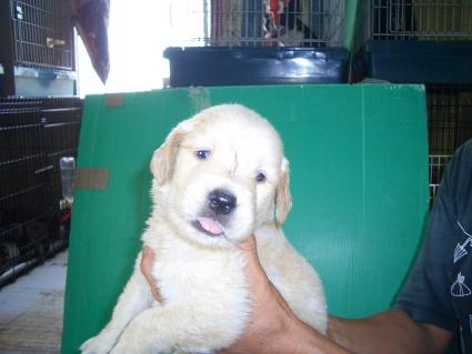 ゴールデンレトリバーの子犬4