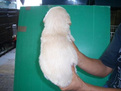 ゴールデンレトリバーの子犬4-2