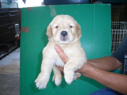 ゴールデンレトリバーの子犬5