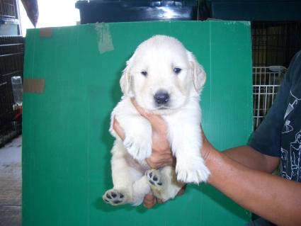 ゴールデンレトリバーの子犬1