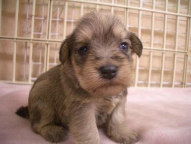 ミニチュア・シュナウザーの子犬の写真