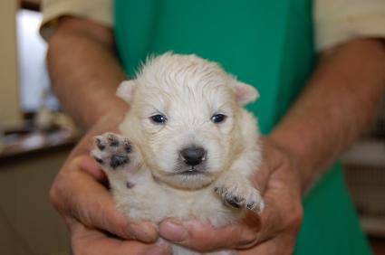 日本スピッツの子犬販売No.200811133