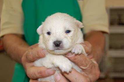 日本スピッツの子犬販売No.200811131
