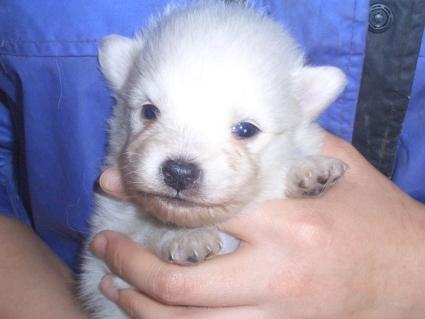 日本スピッツの子犬販売No.200902261