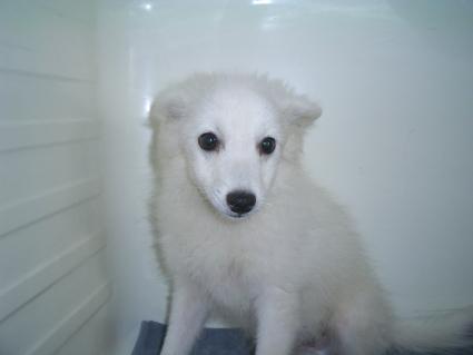 日本スピッツの子犬販売No.200902262