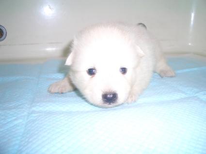 日本スピッツの子犬販売No.200906151