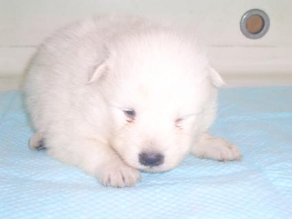 日本スピッツの子犬販売No.200906152