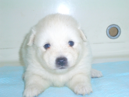 日本スピッツの子犬販売No.200906153