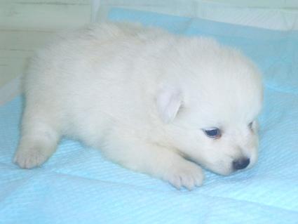 日本スピッツの子犬販売No.200906154