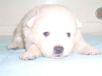 日本スピッツの子犬販売No.200906155