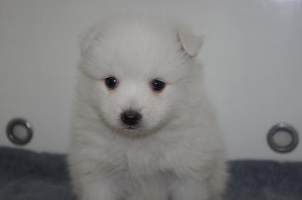 日本スピッツの子犬販売