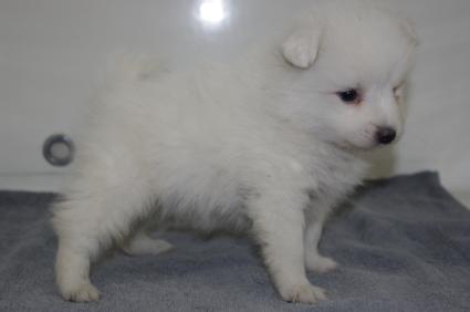 日本スピッツの子犬販売No.200911122