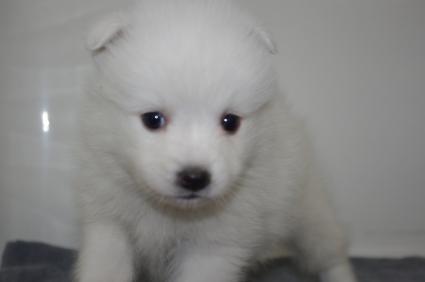 日本スピッツの子犬販売No.200911123