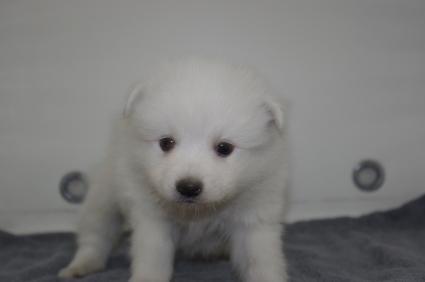 日本スピッツの子犬販売No.200911124