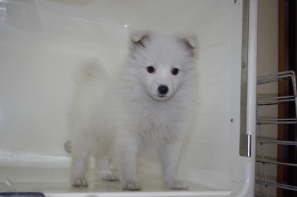 日本スピッツの子犬販売No.200911121