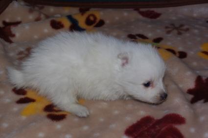 日本スピッツの子犬販売No.200901206
