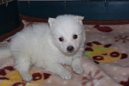 日本スピッツの子犬販売No.200901201