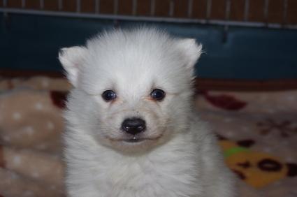 日本スピッツの子犬販売No.200901202