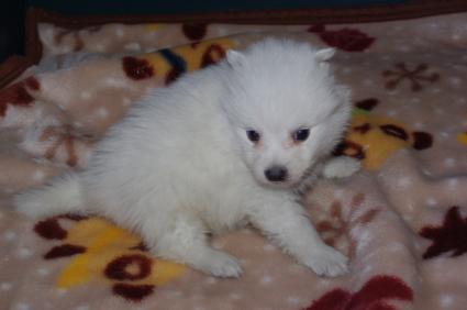 日本スピッツの子犬販売No.200901203