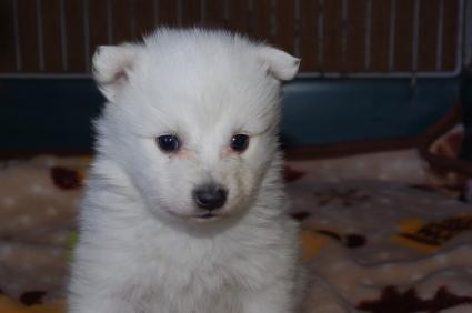 日本スピッツの子犬販売No.200901204