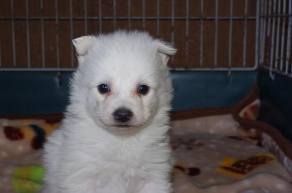 日本スピッツの子犬販売No.200901205