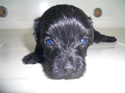 トイプードル子犬の写真