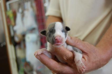 ウィペットの子犬No.200808193