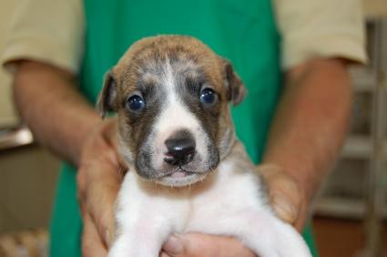 ウィペットの子犬No.200811072
