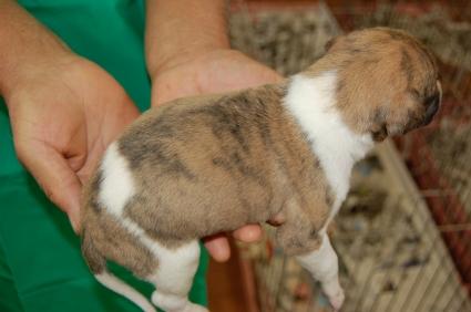 ウィペットの子犬No.200811072-2