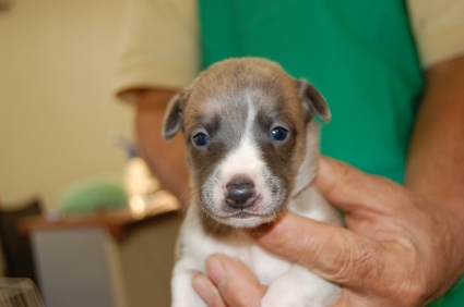 ウィペットの子犬No.200811073