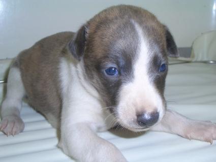 ウィペットの子犬No.200904031