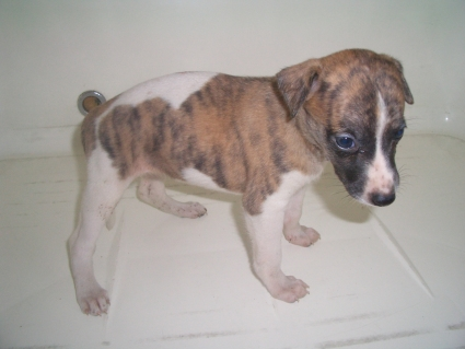 ウィペットの子犬No.200908046-2